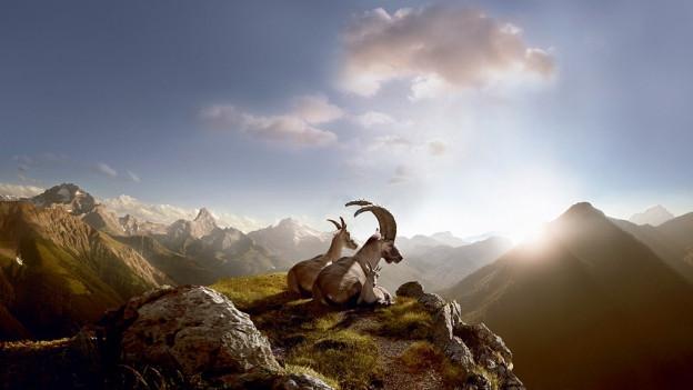 Drei Steinböcke sitzen auf einem Felsvorsprung