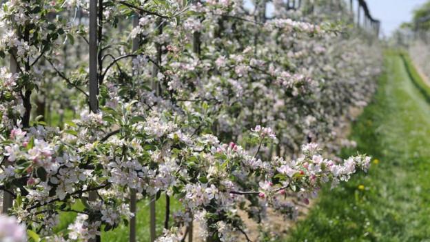 Bisher mussten die Thurgauer ihre Obstbäume nicht mit Streptomycin behandeln.