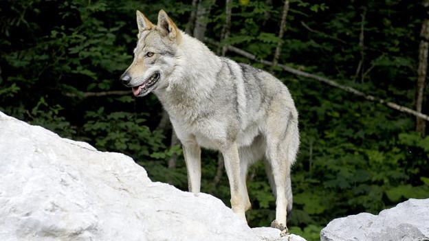 Der Wolf könnte dem Wald nützen, sagen Fachleute.