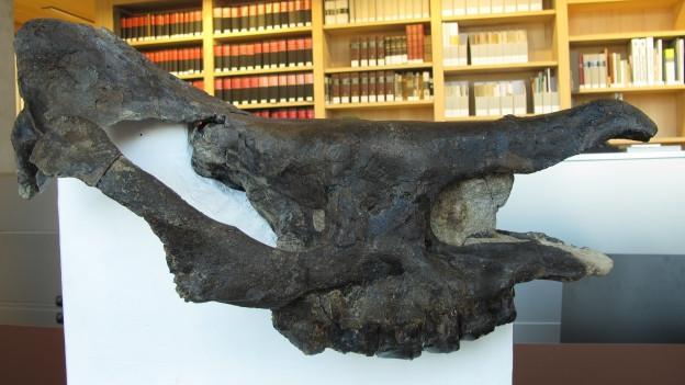 Seltener Fund: Nashornschädel aus dem Appenzellerland.