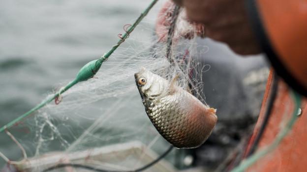 Die Fischerträge gehen zurück. Die Zahl der Hochsee-Patente wird deshalb reduziert.