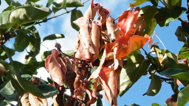 Welke Blätter an einem Quittenbaum