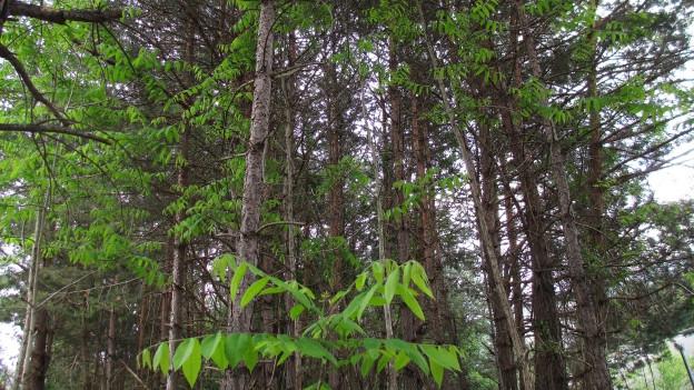 Götterbaum auf dem Vormarsch