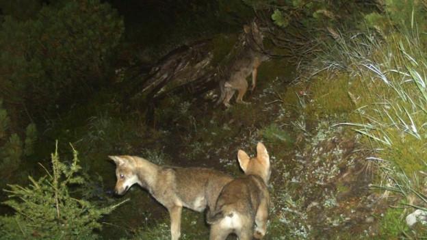Das Wolfsrudel reisst nicht mehr nur Schafe.