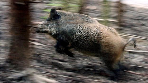 Wildschwein rennt durch den Wald.