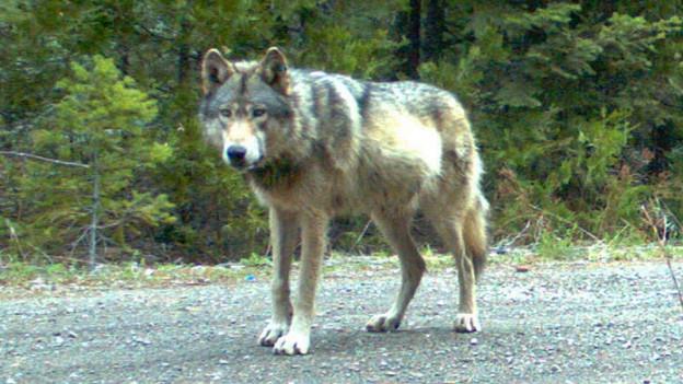 Die Wölfe verlieren den Respekt vor dem Menschen