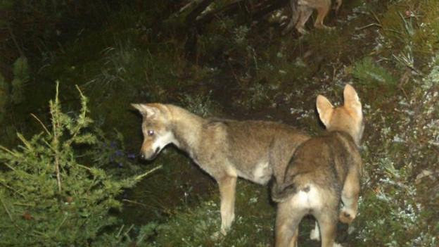 Wölfe können in der Schweiz unter gewissen Voraussetzungen abgeschossen werden.