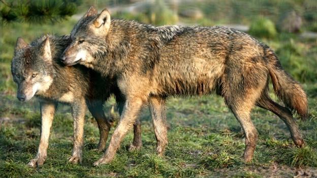 Wolf-Abschuss: Bewilligung läuft ab