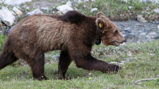 Ein Bär: Wie soll er vor Zügen geschützt werden?