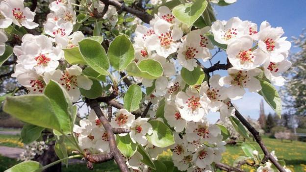 Kalte Nächte setzen den Apfelblüten zu.