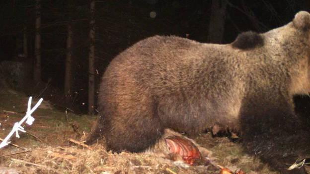 Im Bündner Südtal hatte sich der Bär über einen Hirschkadaver hergemacht.