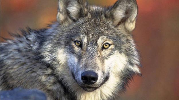 Der Wolf, eine Gefahr für die Alpsömmerung. Das Landwirtschaftliche Zentrum informiert per SMS über seinen Standort.