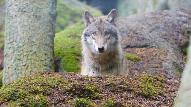 Der Wolf beschäftigte nun auch das Verwaltungsgericht.