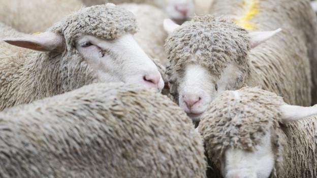 Der betroffene Tierhalter hat dafür gesorgt, dass ab sofort keine Milch von seinen Schafen mehr auf den Markt gelangt.