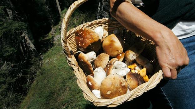 Der Steinpilz gehört nach wie vor zu den beliebtesten Pilzen zum Sammeln.