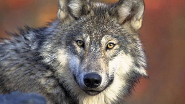 Ein einzelner Wolf reisst auf dem Flumserbergen zwölf Schafe.