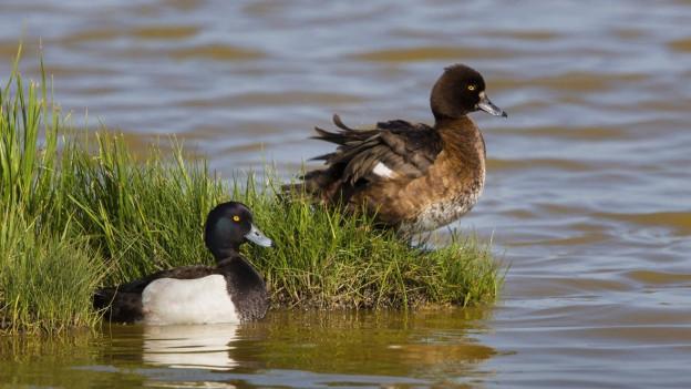 Bei den gefundenen toten Vögeln handle es sich in erster Linie um Reiherenten.