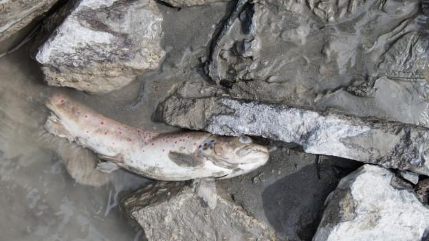 Das Gift im Fluss Spöl gefährdet die Umwelt.