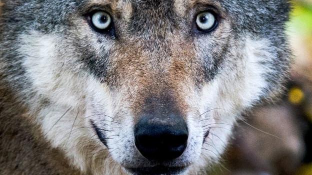 Neuer Streit um den Wolf.