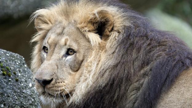 Der Thurgau präsentiert sich an der 75. Olma als Gastkanton mit seinem Wappentier, dem Löwen .