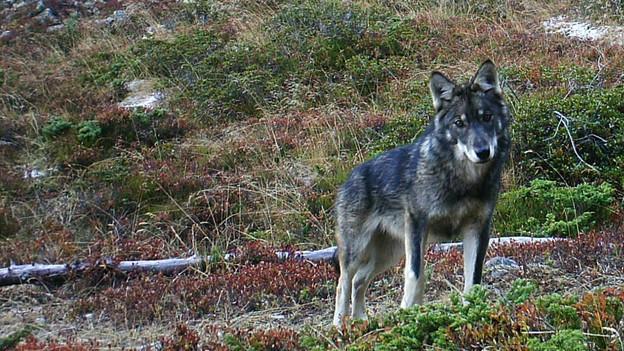 Am Freitag teilte der Thurgau mit, dass in den Regionen Hohentannen und Uesslingen ein Wolf nachgewiesen werden konnte.