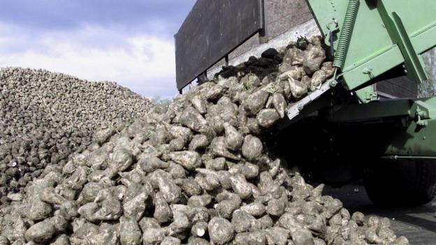 Zuckerrüben: Um Weinfelden produzieren 35 Bauern gegen die 6'000 Tonnen Zuckerrüben.