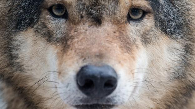 Nahaufnahme Wolf