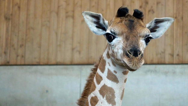 Giraffenbaby im Kinderzoo