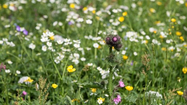 Blumenreiche Magerwiese.