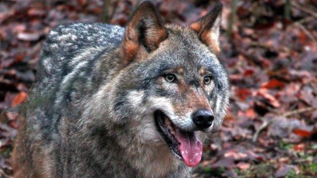 Wolf in Ausserrhoden zum Abschuss freigegeben