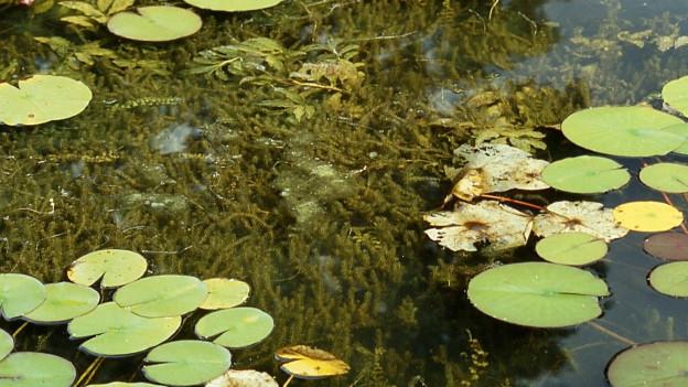 Die starke Ausbreitung der Wasserpest ist im Obersee ein Problem.
