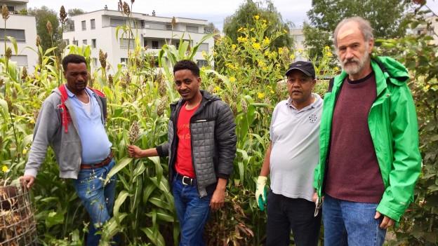 Migranten pflanzen afrikanisches Getreide an in Arbon.