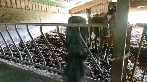 Die abgemagerten Tiere werden weggebracht.