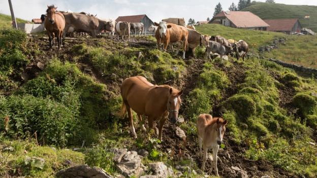 Kühe und Pferde auf der Alp (Symbolbild)