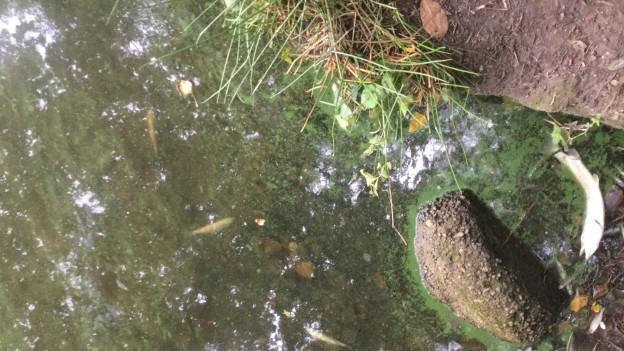 Tote Fische am Ufer des Ziegelweihers.