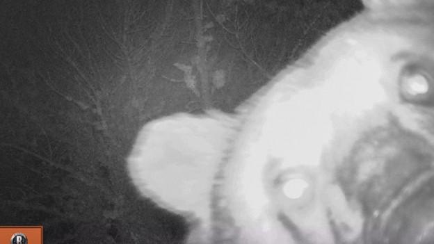 Der Bär im Nationalpark in der Fotofalle.