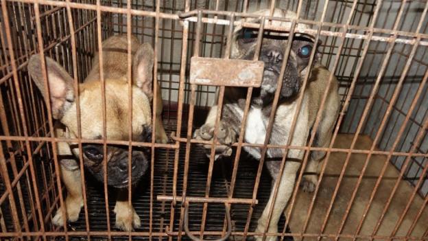 Alleine am Grenzübergang Diepoldsau sind im vergangenen Jahr 100 illegale Hunde aufgegriffen worden.