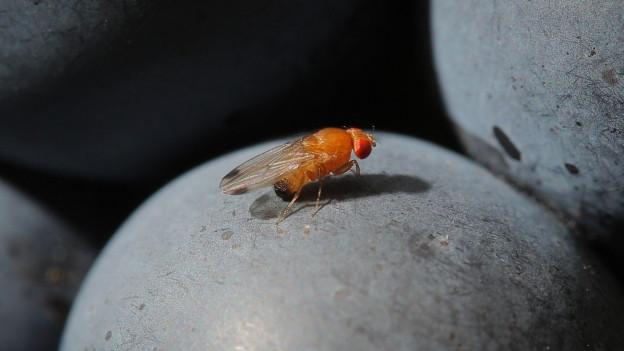 Forschern ist es gelungen, die natürlichen Fressfeinde der Kirschessigfliege zu ermitteln: Es sind Spinnen und Käfer.