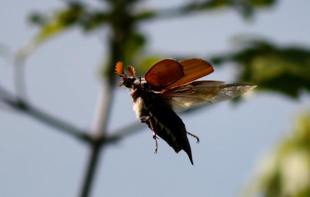 Maikäfer fliegen im Thurgau