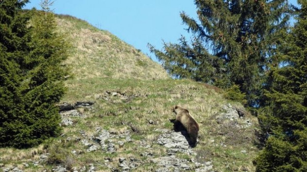 Im Mai 2017 wurde im bernischen Eriz ein Bär gesichtet – ob der Bär an der Lenk der gleiche ist, ist noch unklar.