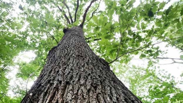 500 Franken für dicke, alte Bäume