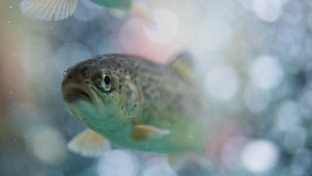 Forelle, die im Wasser schwimmt.