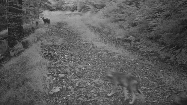 Drei Wölfe auf einem Weg am Calanda-Massiv.