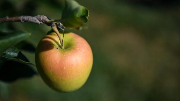 Thurgauer Äpfel werden früh geerntet.