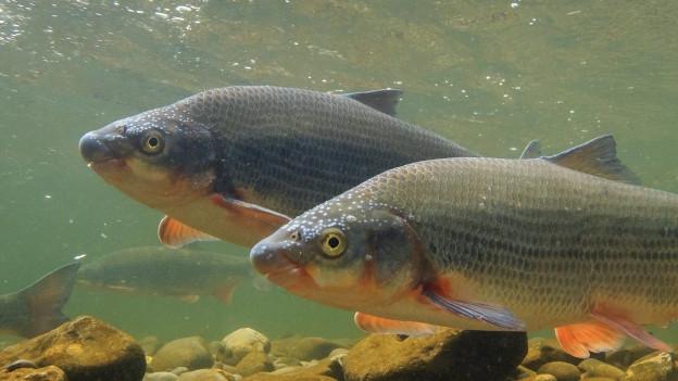 Der Fisch Nase im Fluss