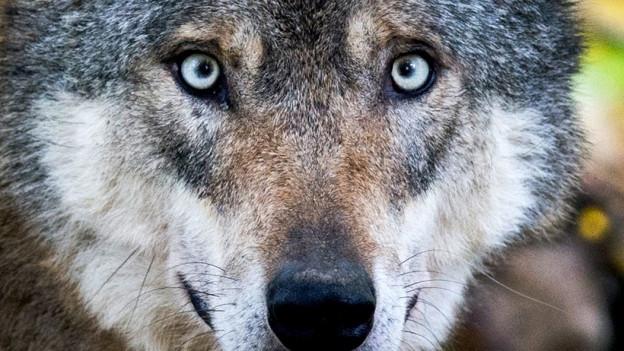 Kopf von Wolf