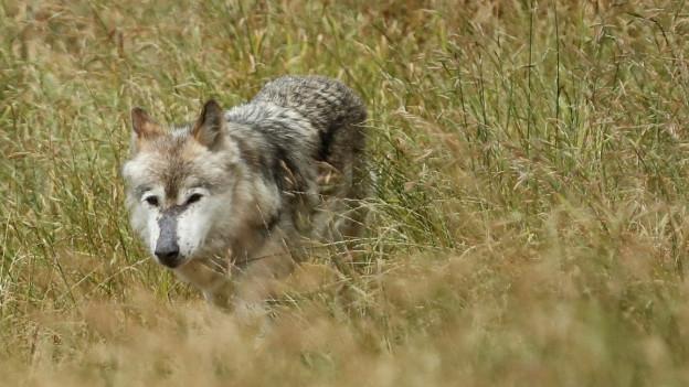 In Graubünden hat sich möglicherweise ein zweites Wolfsrudel gebildet. Ein gesicherter Nachweis fehlt aber noch.