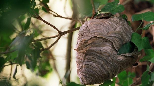 Wespennest hängt an Baum