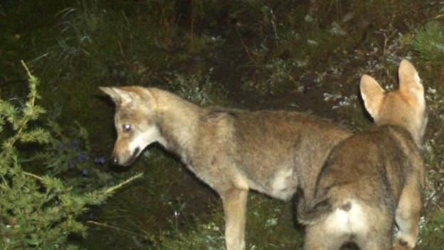 Calanda-Rudel-Weibchen hat im Glarnerland neuen Lebensraum gefunden.