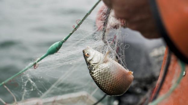 Bodenseefischer kämpfen mit tiefen Fangzahlen